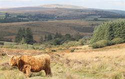 Cows on the moor