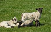 Lambing in spring
