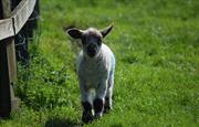 Springtime lambing