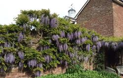 Wisteria and the cupola