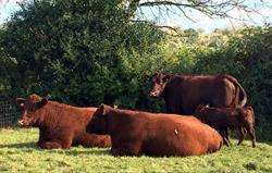 Our beautiful Devon Red cattle
