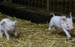 British Lop piglets