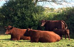 Our wonderful Devon Red cattle