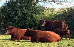 Our wonderful Red Devon cattle