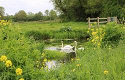 Swans on the Somerset Levels