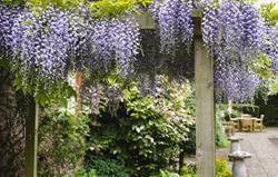 Wisteria in the garden