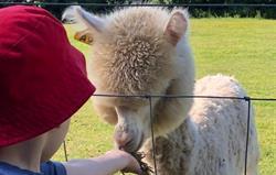 Animal feeding Alpaca