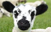 Swaledale Lamb