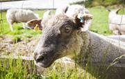 Lambs at Uppergate Farm
