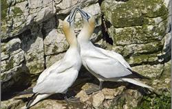 Gannets by Stuart Andrews, a guest