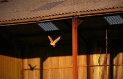 Owls nest in our hay barn