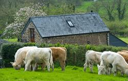 Charolais in front of Meadow Barn