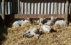 Southdown lambs enjoying the sun