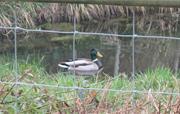 Old Bull Pen pond visitor 2