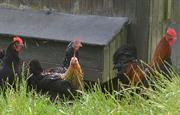 Roger the Rooster, with his girls!