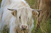 Neighbouring Highland cattle