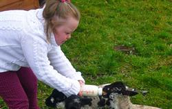 Feeding the lambs in springtime