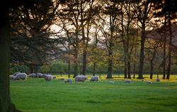 Ewes and lambs in the park