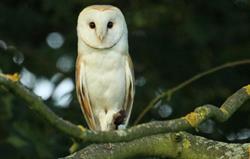 Barn Owl and prey at High Barn