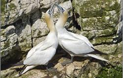 Bempton Gannets