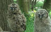 Tawny Owls in our woodland