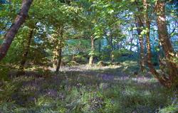Stroll through the bluebell woods