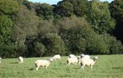 Bolotho sheep