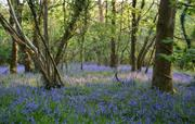 Flear Wood awash with Bluebells!