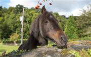 Abbie the resident Dartmoor Pony