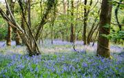 Bluebells in Flear Wood