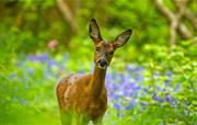 Young Doe in Flear Woods