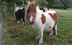 Ponies in the front field