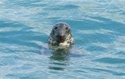 Look out for grey seals