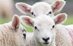 Churchdale Triplet Lambs