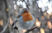 Curious robin at Bosherston ponds