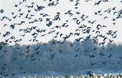 Migrating Geese over Rookery Barn
