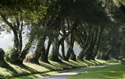 The Ilex Avenue along the drive in