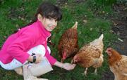 Hen Feeding Time