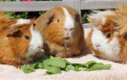 Resident Guinea Pigs