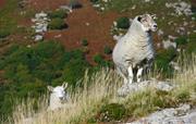 Sheep at Bench Tor