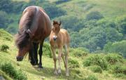 Dart valley and Dartmoor ponies