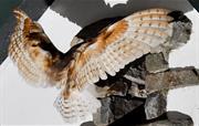Resident barn owl
