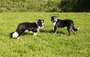 Our sheep dogs 'Fly' and 'Boss'