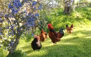 Chickens near the cottage
