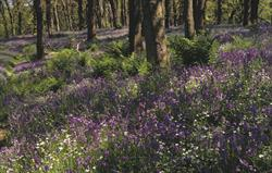 Bluebell woods in Eskdale
