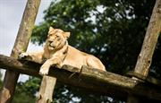 One of the lions at Chester Zoo