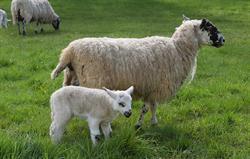 Lambs at Bruern