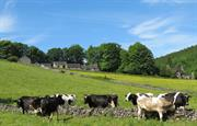 A cows view of Swainsley Farm