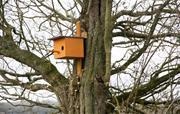 Little Owl box in Oak tree