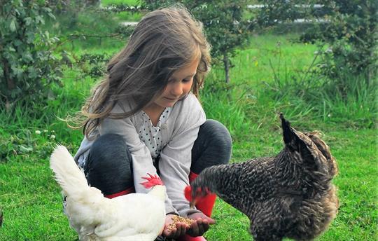 Hand-feeding the chickens